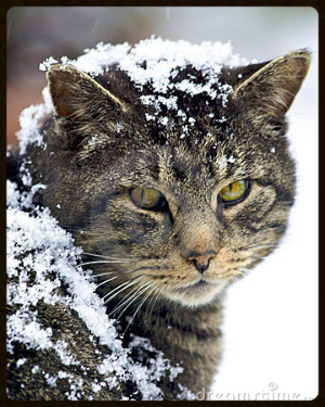 feral-cat-covered-snow-13728339